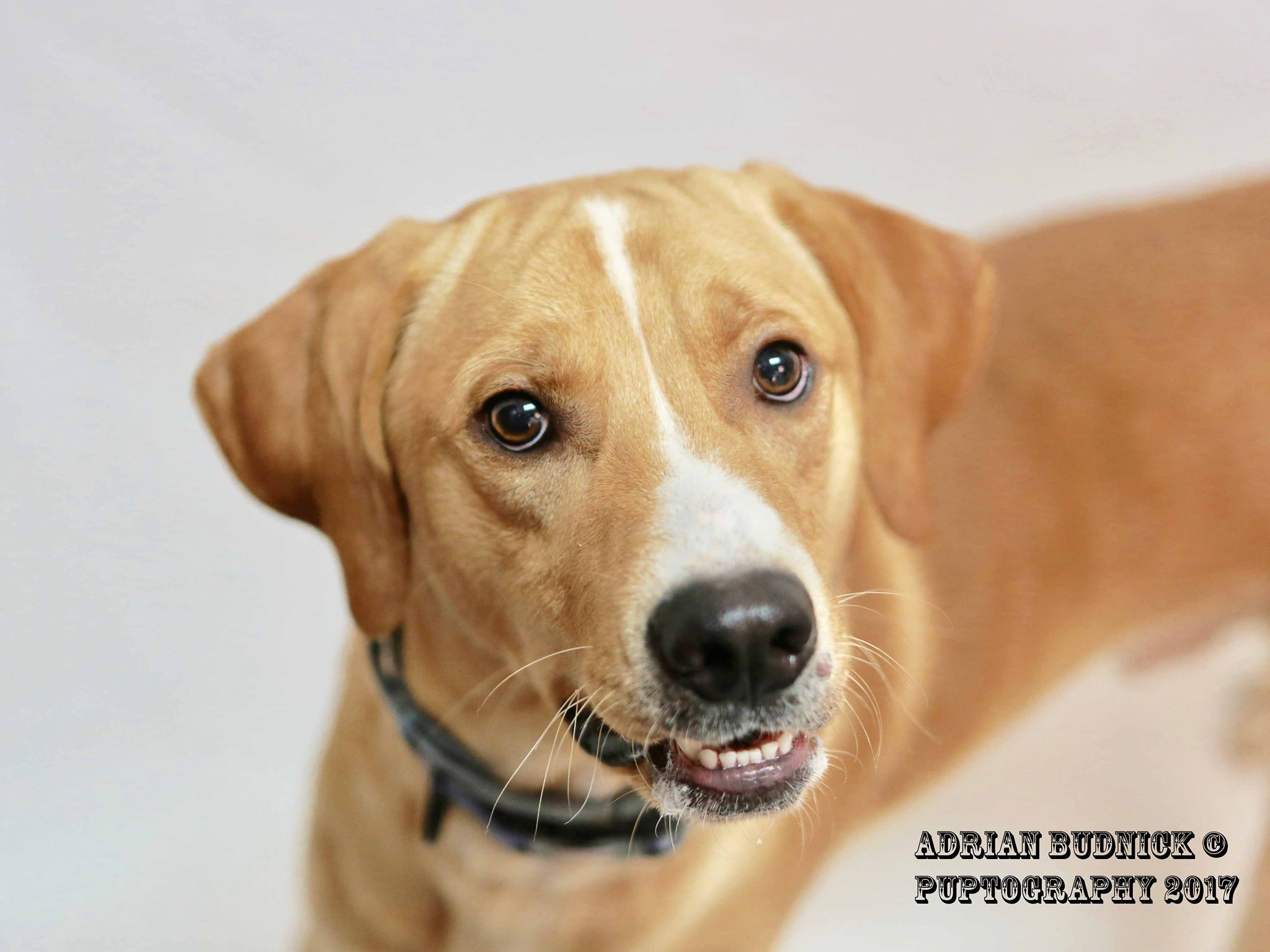 Nelson A176494 is a 1 year old lab mix. He is available at Metro Nashville Animal Care and Control