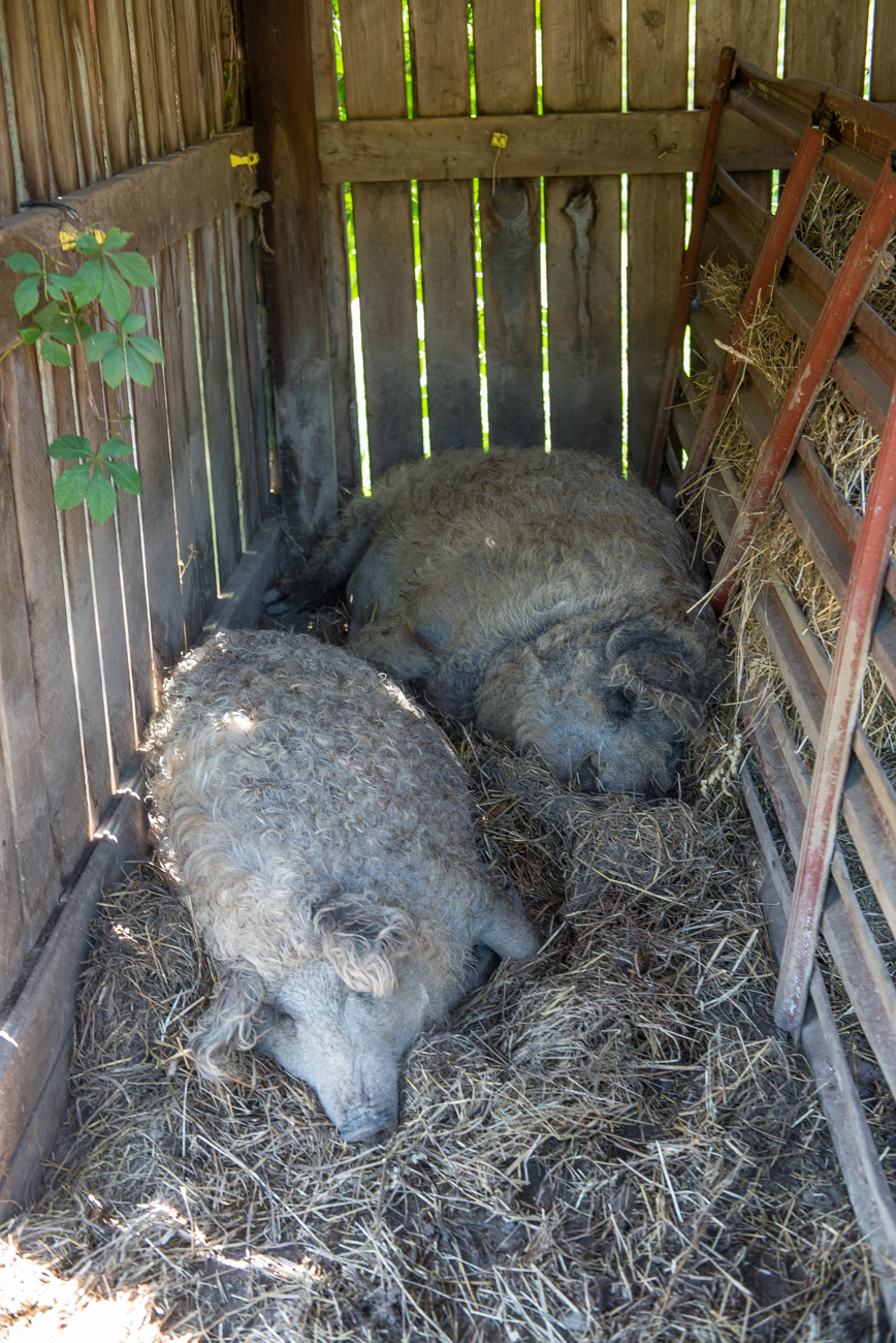 <p>These wooly pigs are known as Mangalitsa pigs. The breed originally comes from Hungary and is currently the only type of pig to flaunt sheep-like coats. The farm is also home to horses and sheep. / Image: Mike Menke // Published: 6.13.19</p><p></p>