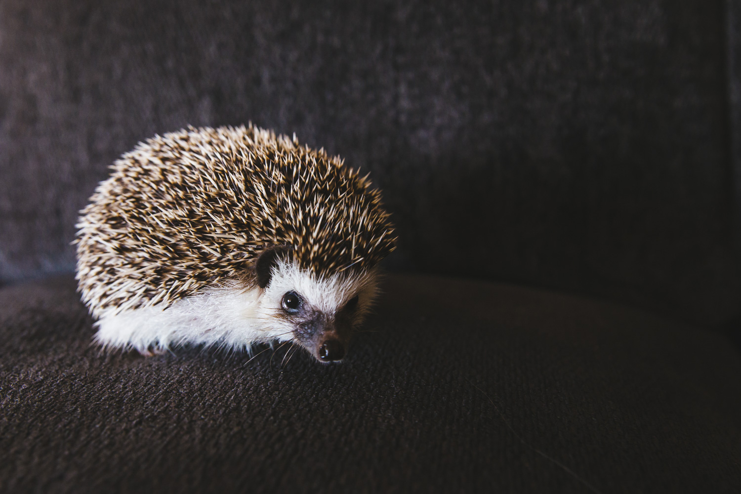 We've had dogs. We've had cats. Heck, we've even had birds! We haven't yet had a hedgehog so this is a HUGE day at RUFFined! Meet Pip the African Pygmy Hedgehog. Pip is one and can be described as a &quot;quill potato.&quot; Pip has been one adventurous hedgehog, exploring the PNW with his parents - from ferry trips to hikes to pumpkin patches! Pip likes running on his wheel, mealworms, destroying cat toys, forehead rubs and playing in the grass. Pip dislikes baths, daylight, strangers, loud noises, belly rubs and being on a diet. You can follow along with Pip on instagram, @pip.thehedgehog.{&amp;nbsp;}The Seattle RUFFined Spotlight is a weekly profile of local pets living and loving life in the PNW. If you or someone you know has a pet you'd like featured, email us at hello@seattlerefined.com or tag #SeattleRUFFined and your furbaby could be the next spotlighted! (Image: Sunita Martini / Seattle Refined).<p></p>